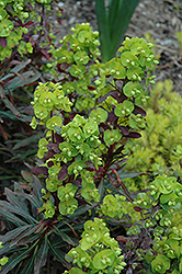 Purple Wood Spurge (Euphorbia amygdaloides 'Purpurea') at Town And Country Gardens