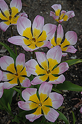 Eastern Star Crocus Tulip (Tulipa humilis 'Eastern Star') at Town And Country Gardens