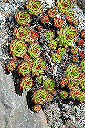 Sunset Hens And Chicks (Sempervivum 'Sunset') at Town And Country Gardens