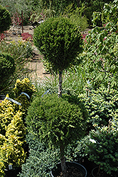 Spartan Juniper (pom pom) (Juniperus chinensis 'Spartan (pom pom)') at Town And Country Gardens