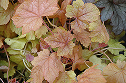 Redstone Falls Foamy Bells (Heucherella 'Redstone Falls') at Town And Country Gardens