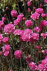 Red-leaved Sea Thrift (Armeria maritima 'Rubrifolia') at Town And Country Gardens