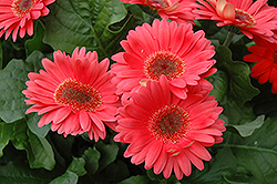 Coral Gerbera Daisy (Gerbera 'Coral') at Town And Country Gardens