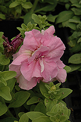 Double Cascade Pink Petunia (Petunia 'Double Cascade Pink') at Town And Country Gardens
