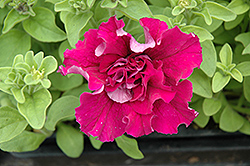 Double Cascade Red Petunia (Petunia 'Double Cascade Red') at Town And Country Gardens