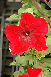 Madness Red Petunia (Petunia 'Madness Red') at Town And Country Gardens
