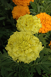 Taishan Yellow Marigold (Tagetes erecta 'Taishan Yellow') at Town And Country Gardens