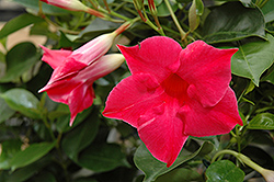 Sun Parasol® Carmine King Mandevilla (Mandevilla 'Sun Parasol Carmine King') at Town And Country Gardens
