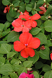 Super Elfin® Salmon Impatiens (Impatiens walleriana 'Super Elfin Salmon') at Town And Country Gardens