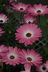 Summertime Pink Charme African Daisy (Osteospermum 'Summertime Pink Charme') at Town And Country Gardens