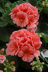 Patriot Evening Glow Geranium (Pelargonium 'Patriot Evening Glow') at Town And Country Gardens