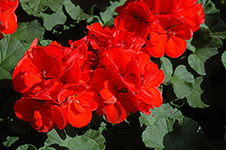 Patriot Red Geranium (Pelargonium 'Patriot Red') at Town And Country Gardens