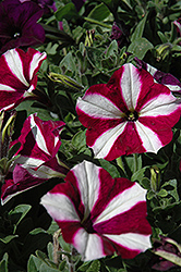 Easy Wave® Burgundy Star Petunia (Petunia 'Easy Wave Burgundy Star') at Town And Country Gardens