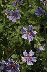 Brookside Cranesbill (Geranium 'Brookside') at Town And Country Gardens