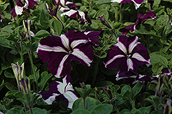 Ultra Blue Star Petunia (Petunia 'Ultra Blue Star') at Town And Country Gardens