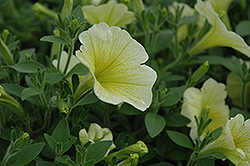 Surprise Yellow Petunia (Petunia 'Surprise Yellow') at Town And Country Gardens