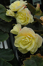Solenia® Light Yellow Begonia (Begonia 'Solenia Light Yellow') at Town And Country Gardens