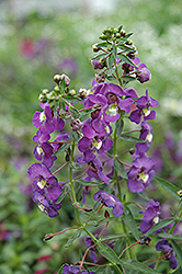 Blue Angelonia (Angelonia angustifolia 'Blue') at Town And Country Gardens