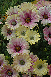 Summertime Sunrise African Daisy (Osteospermum 'Summertime Sunrise') at Town And Country Gardens