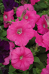Madness Pink Petunia (Petunia 'Madness Pink') at Town And Country Gardens