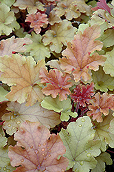 Marmalade Coral Bells (Heuchera 'Marmalade') at Town And Country Gardens