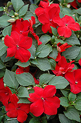 Super Elfin® Red Impatiens (Impatiens walleriana 'Super Elfin Red') at Town And Country Gardens