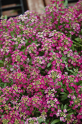 Wonderland Rose Alyssum (Lobularia maritima 'Wonderland Rose') at Town And Country Gardens