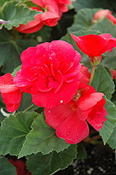 Nonstop® Rose Pink Begonia (Begonia 'Nonstop Rose Pink') at Town And Country Gardens
