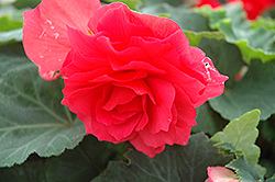 Nonstop® Bright Red Begonia (Begonia 'Nonstop Bright Red') at Town And Country Gardens