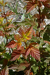 Amber Jubilee™ Ninebark (Physocarpus opulifolius 'Jefam') at Town And Country Gardens