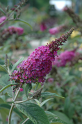 Miss Ruby Butterfly Bush (Buddleia davidii 'Miss Ruby') at Town And Country Gardens