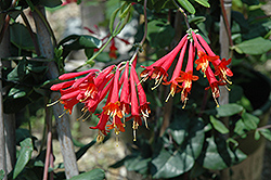 Major Wheeler Coral Honeysuckle (Lonicera sempervirens 'Major Wheeler') at Town And Country Gardens