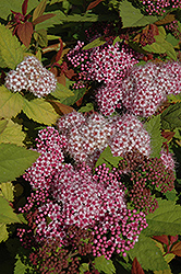 Double Play® Big Bang™ Spirea (Spiraea 'Tracy') at Town And Country Gardens
