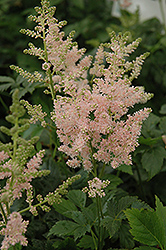 Apple Blossom Japanese Astilbe (Astilbe japonica 'Apple Blossom') at Town And Country Gardens