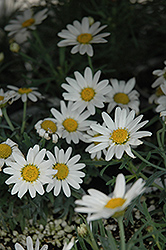 Angelic White Chic Marguerite Daisy (Argyranthemum frutescens 'Angelic White Chic') at Town And Country Gardens