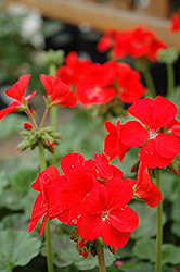 Pinto Scarlet Geranium (Pelargonium 'Pinto Scarlet') at Town And Country Gardens