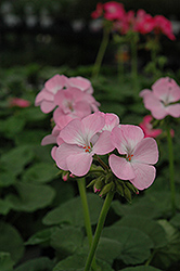 Pinto Quicksilver Geranium (Pelargonium 'Pinto Quicksilver') at Town And Country Gardens