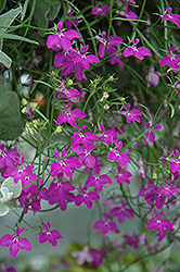 Techno® Heat Violet Lobelia (Lobelia erinus 'Techno Heat Violet') at Town And Country Gardens