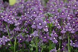 Enchanting Blue Nemesia (Nemesia 'Enchanting Blue') at Town And Country Gardens