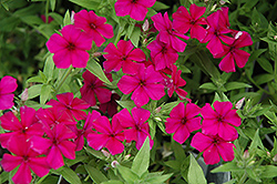 Intensia Cabernet Annual Phlox (Phlox 'Intensia Cabernet') at Town And Country Gardens