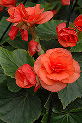 Solenia® Orange Begonia (Begonia 'Solenia Orange') at Town And Country Gardens