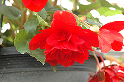 Illumination® Scarlet Begonia (Begonia 'Illumination Scarlet') at Town And Country Gardens
