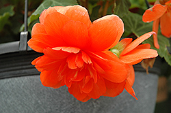 Nonstop® Orange Begonia (Begonia 'Nonstop Orange') at Town And Country Gardens