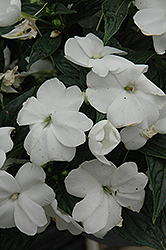 Sonic® White New Guinea Impatiens (Impatiens 'Sonic White') at Town And Country Gardens