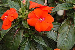 Sonic® Orange New Guinea Impatiens (Impatiens 'Sonic Orange') at Town And Country Gardens