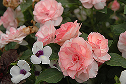 Fiesta Ole Peach Double Impatiens (Impatiens 'Fiesta Ole Peach') at Town And Country Gardens