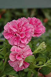 Double Wave Pink Petunia (Petunia 'Double Wave Pink') at Town And Country Gardens