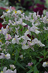 Confection Pink Nemesia (Nemesia 'Confection Pink') at Town And Country Gardens