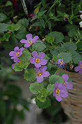 Snowstorm® Blue Bacopa (Sutera cordata 'Snowstorm Blue') at Town And Country Gardens