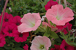 Potunia Pink Petunia (Petunia 'Potunia Pink') at Town And Country Gardens